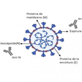 Estructura del SARS-CoV-2. Las dianas más importantes de los anticuerpos son las proteínas N y S.